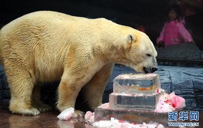 新加坡動物園為北極熊慶生