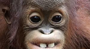 新加坡動物園猩猩寶寶大板牙十分搶鏡