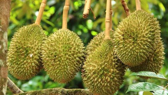 中國成為泰國榴蓮出口增速最快的目的地